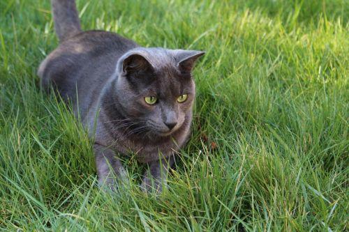 katė,pilka katė,žaliosios katės akys,žolės katė,medžioklės katė,katė lauke,žolė,naminis gyvūnas,katės sodas