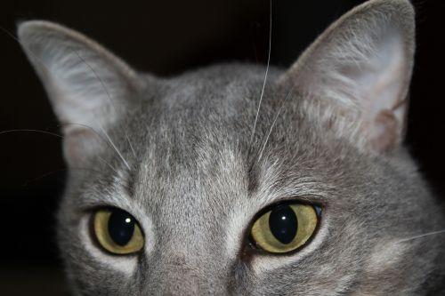 cat feline eyes