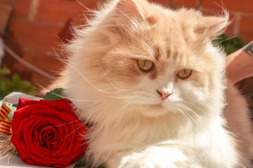cat rosa animal