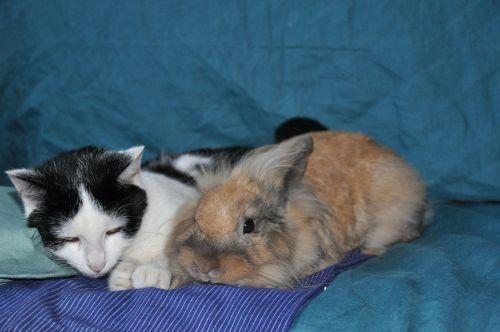 cat black and white rabbit
