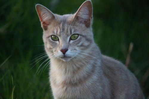 cat mieze tiger cat