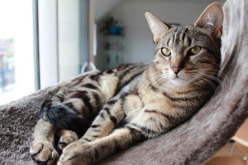 cat tabby cat indoor cat