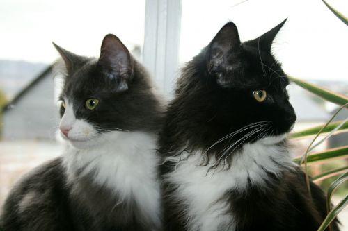 cat mainecoon animal