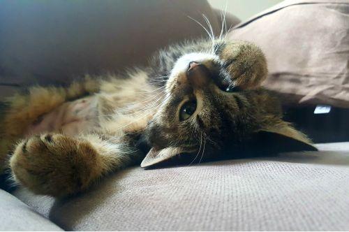 cat domestic cat lazy