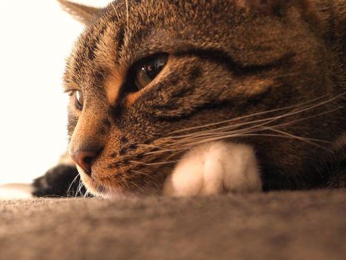 cat mackerel grey tabby