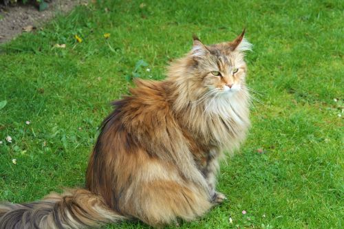 cat siberian forest cat forest cat