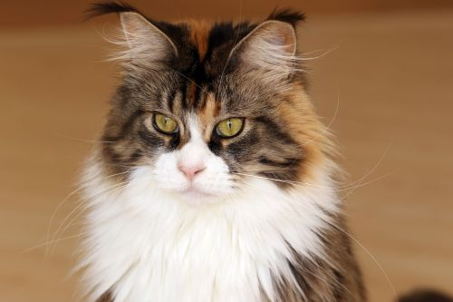cat maine coon look