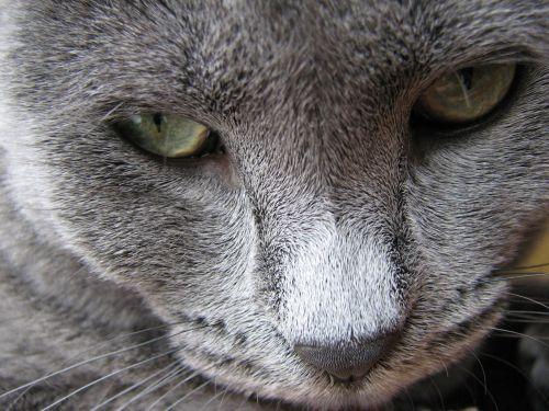 cat feline grey