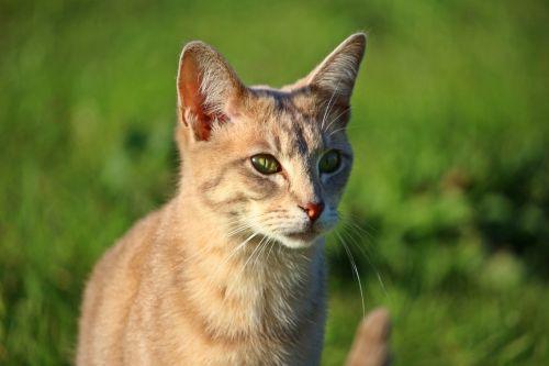 cat kitten breed cat