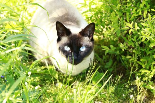 cat blue eyes blue