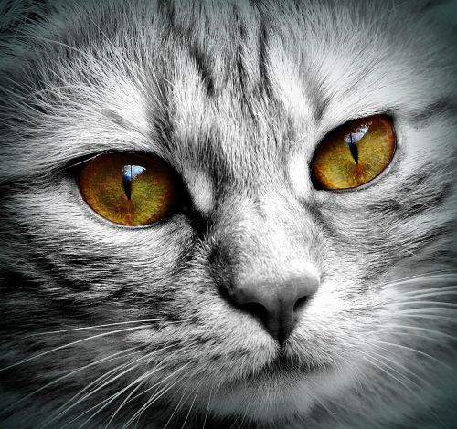 cat face tiger