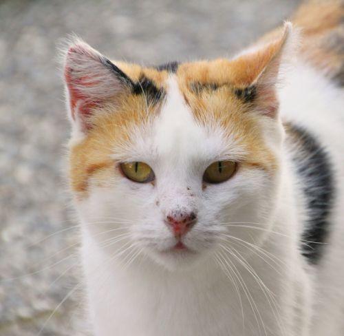 cat cat face head