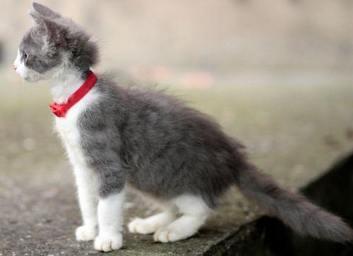 katė,mažas,mielas,pete