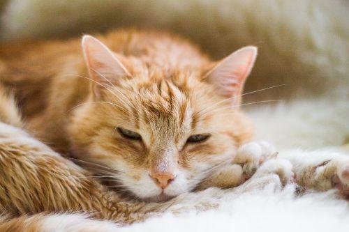 cat red tomcat sleeping