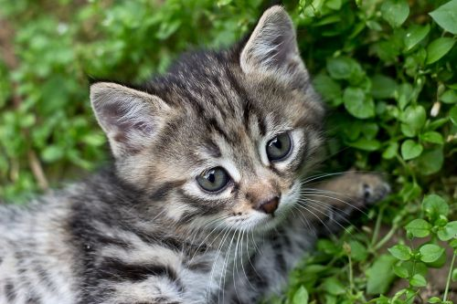tabby kitten gray kitten cat