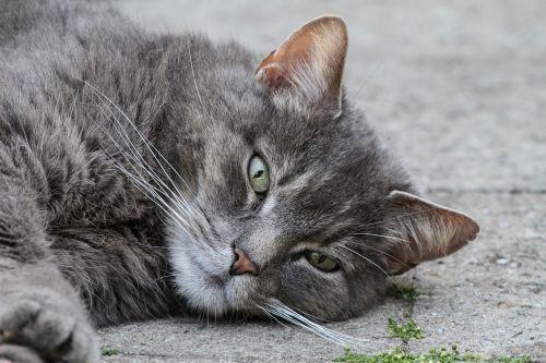 katė,naminis katinas,naminis gyvūnėlis,pilka,atsipalaidavęs,melas,gyvūnas