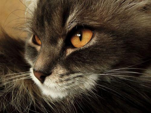 katė,gyvūnas,namai,pūkuotas katinas,snukio katė,akys,Iš arti,katė ieško,geltonakiai katė,graži katė