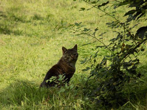 cat mammals pet
