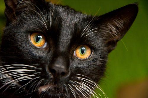 cat kitten tomcat