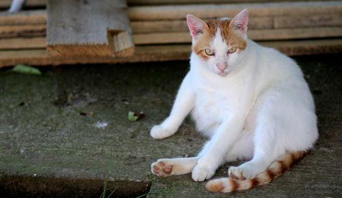 cat white orange