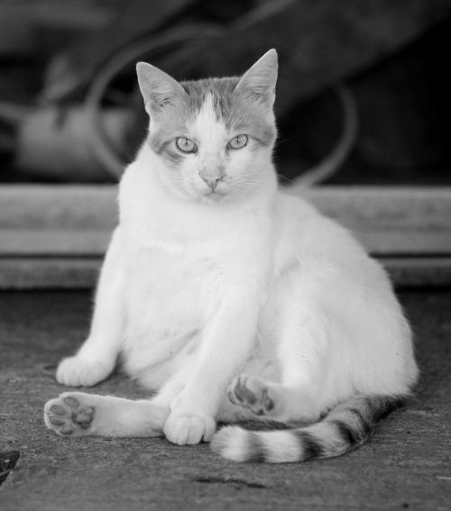 cat white lazy