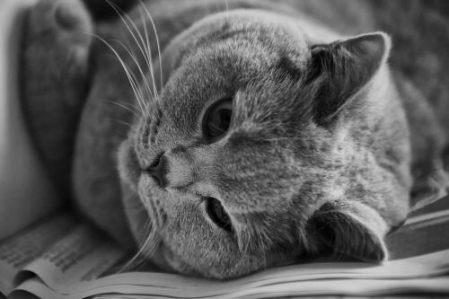 cat british shorthair thoroughbred