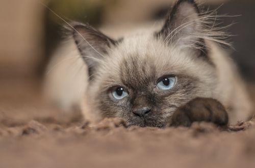 cat kitten pets