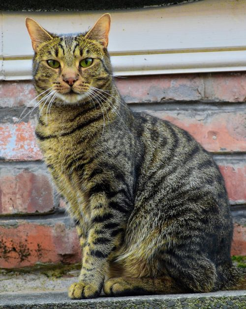 cat feline mammal