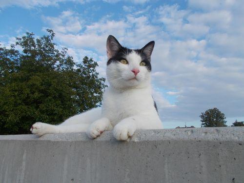 cat tomcat black and white