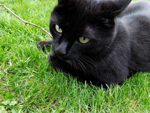 cat black cat mieze