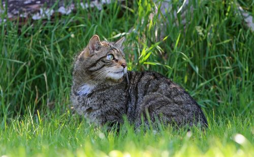 cat kitty scottish wild cat