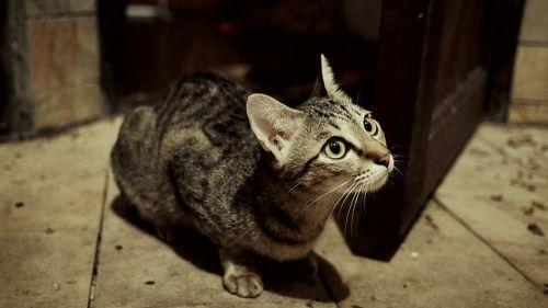 cat pussy domestic animal