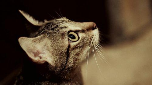 cat pussy cat profile