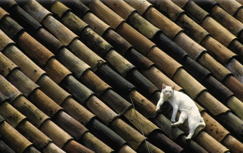 cat white roof