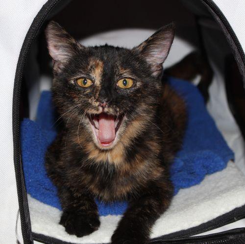 cat meow tortoiseshell