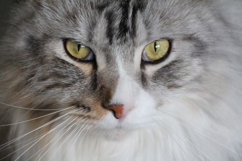 cat main coon maine coon cat