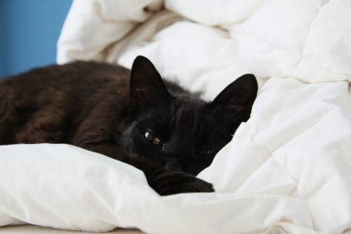 cat black bed