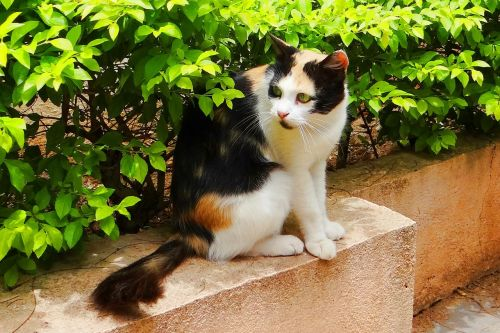 cat domestic dharwad