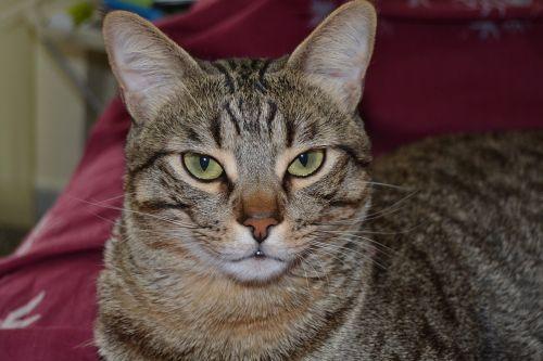 cat feline yellow eyes