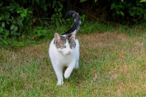 cat pets domestic cat