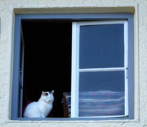 katė,naminis katinas,langas,naminis gyvūnėlis,gyvūnas,sėdėti,palangė