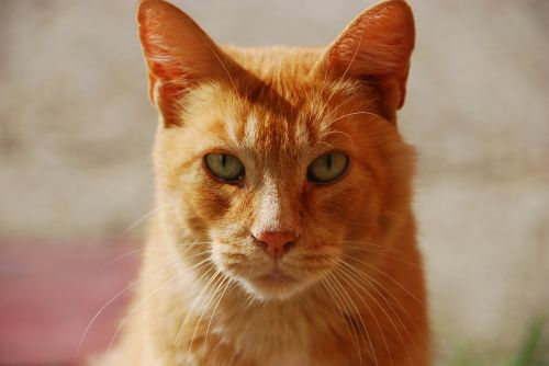 red animal portrait of cat