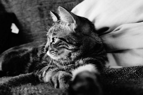 cat tabby cat black and white