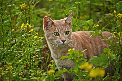 cat mieze breed cat