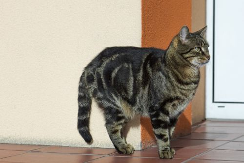 cat tabby fur