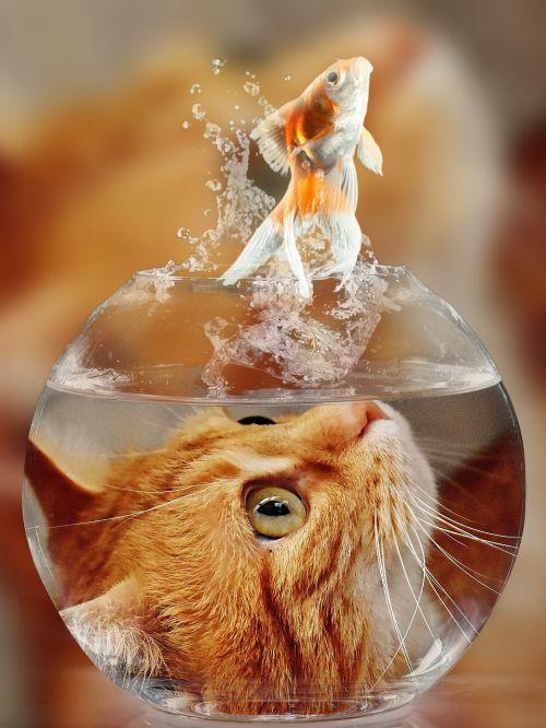 cat face goldfish