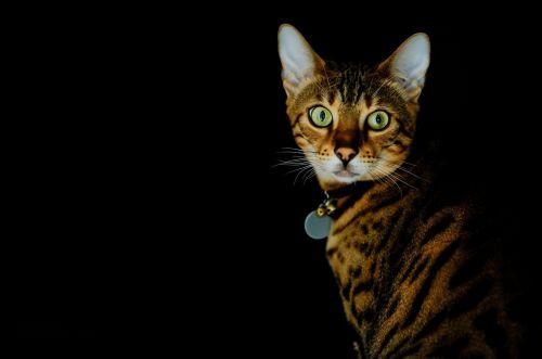 cat begalska black