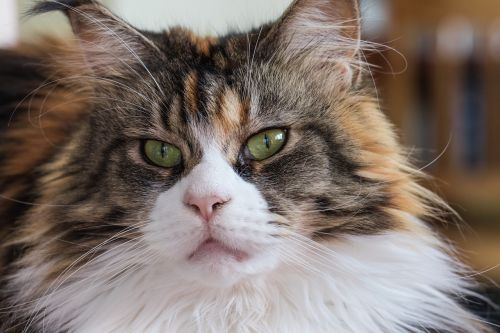 cat maine coon breed