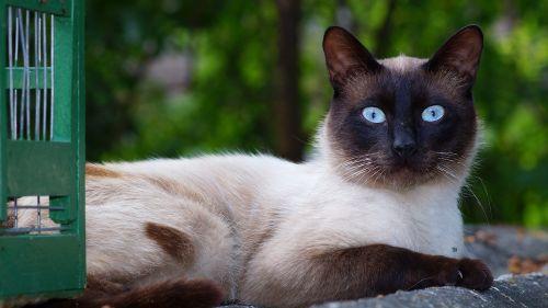 cat siamese breed pet portrait