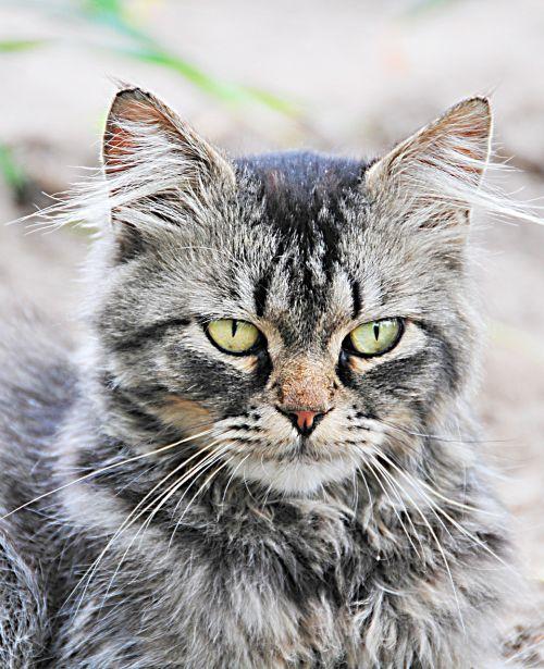 katė,piktas katinas,naminis gyvūnėlis,kačiukas,kačių,vidaus,juokinga,kailis